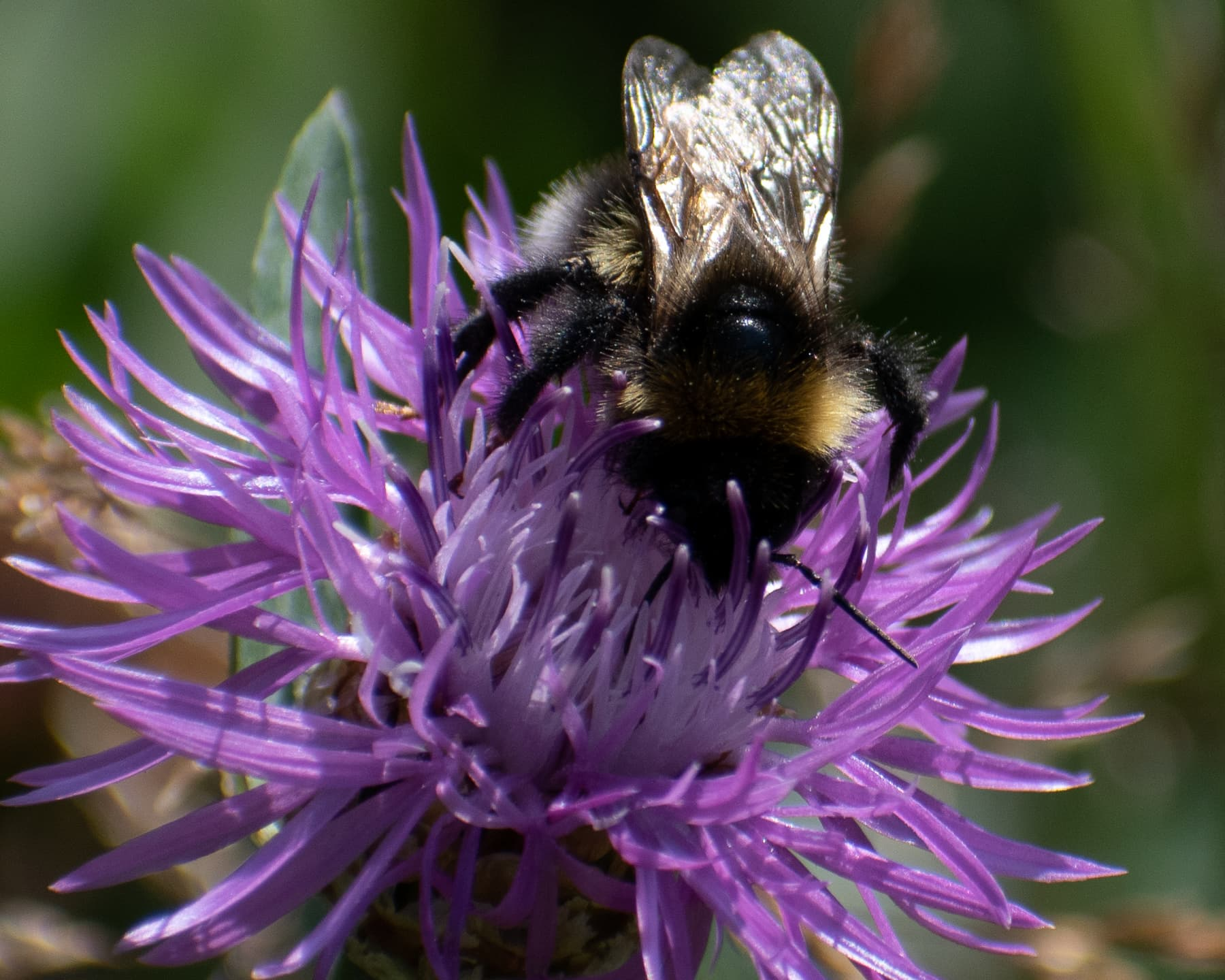 Bumblebee on Allium schoenoprasum